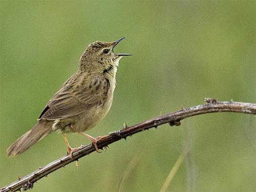 Grasshopper Warbler (Locustella naevia)