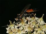 Ichneumon insidiosus