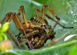 Agelena labyrinthica (Labyrinth Spider)