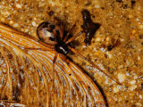Lepthyphantes tenuis
