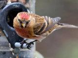 Lesser Redpoll (Carduelis flammea cabaret)