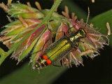 Malachite Beetle