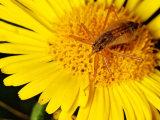 Marsh Damsel Bug