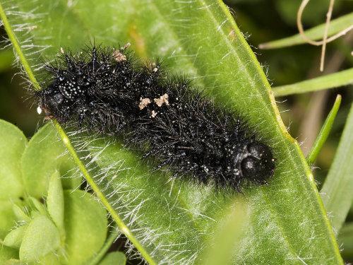 Marsh Fritillary Caterpillar