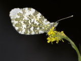 Orange-tip (Anthocaris cardamines)