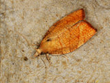 Chequered Fruit-tree Tortrix