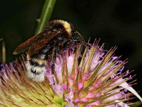 Psithyrus or Bombus bohemicus