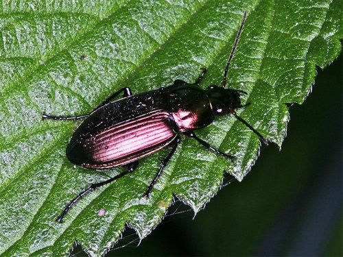 Pterostichus cupreus