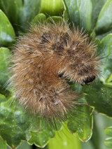 Ruby Tiger Moth Caterpillar