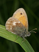 Small Heath (Coenonympha pamphilus)