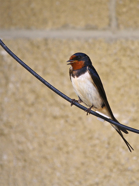 Swallows (Hirundo rustica)