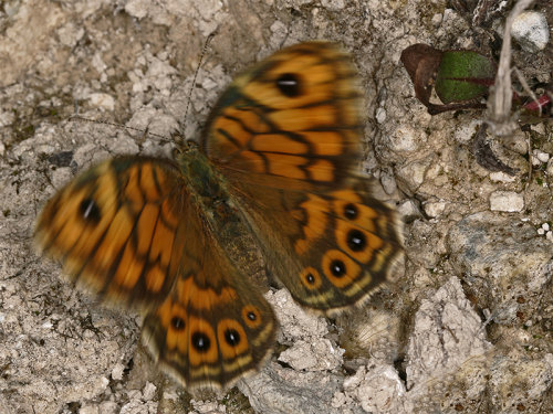 Wall (Lasiommata megera)