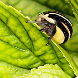 White-lipped Banded Snail