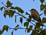 Willow Warbler (Phylloscopus trochilus)