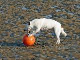 Dog Playing on Beach