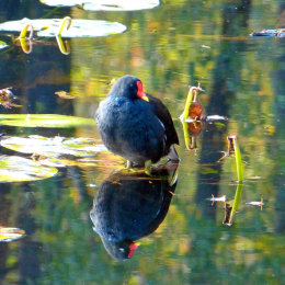 A moorhens reflection