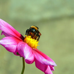 Bumble bee on dahlia flower