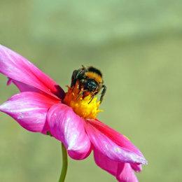 Bumble bee on a dahlia flower