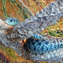 Blue striped garter snake.