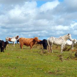 A mixed herd on Bodmin Moor.