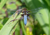 A broad bodied Libellula Dragonfly.Winner of Macro Photo Challenge