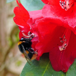A bumblebee on a red Rhododendron