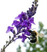 Bumblebee on Buddlia
