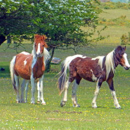 Coloured Hill Ponies
