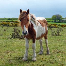 A coloured hill pony
