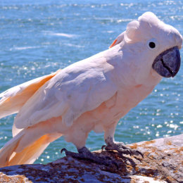 Coral the cockatoo