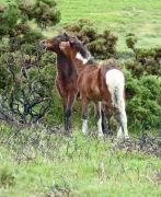 Dartmoor foals playing