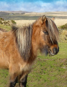 A hill pony on Dartmoor