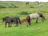 Dartmoor mares & foals