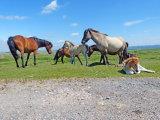 A herd of Dartmoor ponies.