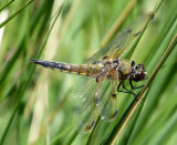 Dragon fly on Reeds