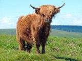 Highland Cow - Dartmoor