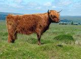 Highland cow on Dartmoor