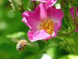 Honey Bee & Dog Rose