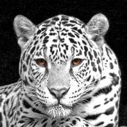 Jaguar in black & white.