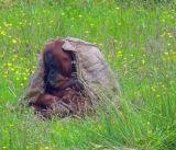 Orangutan in sack