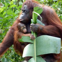 Orang Utan & baby - People's Choice Winner in Young Animals being Nurtured Photo Challange