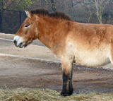 Prezwalski Horse
