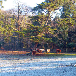 Cows find a sunny corner in a frosty field.
