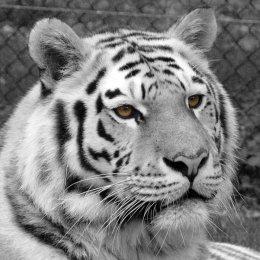 Tiger in Black & White