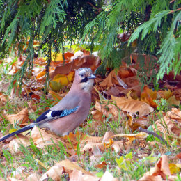 A jay forages among autumn leaves.