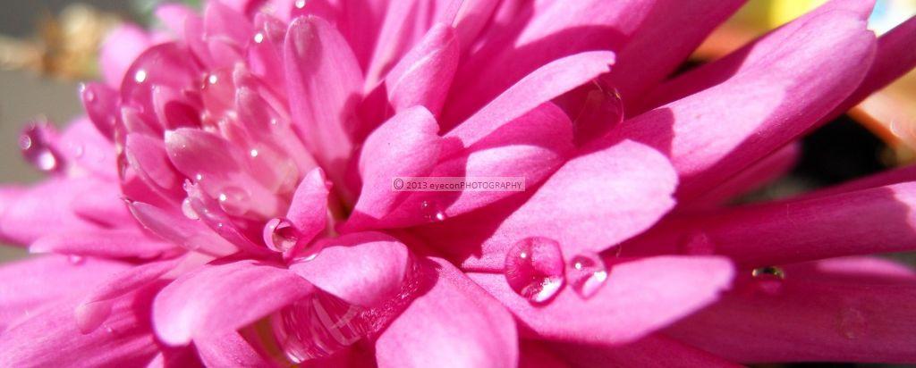 Dew on Petals