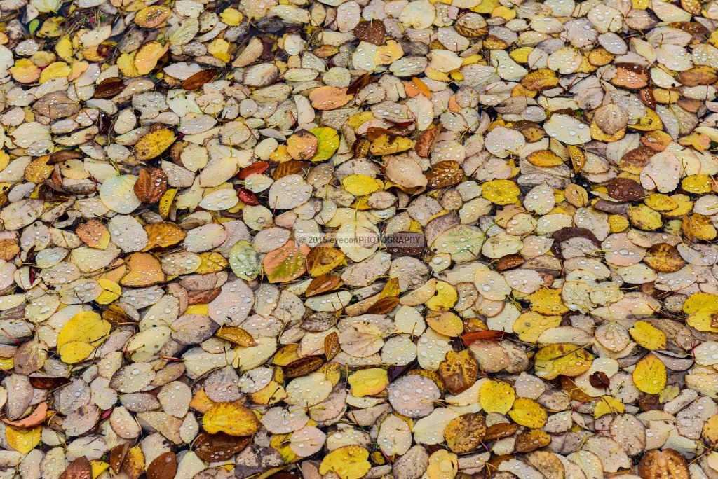 Pond of Leaves