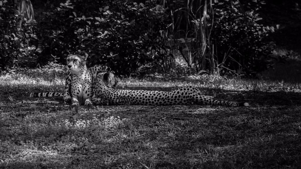 Cheetahs in the shade