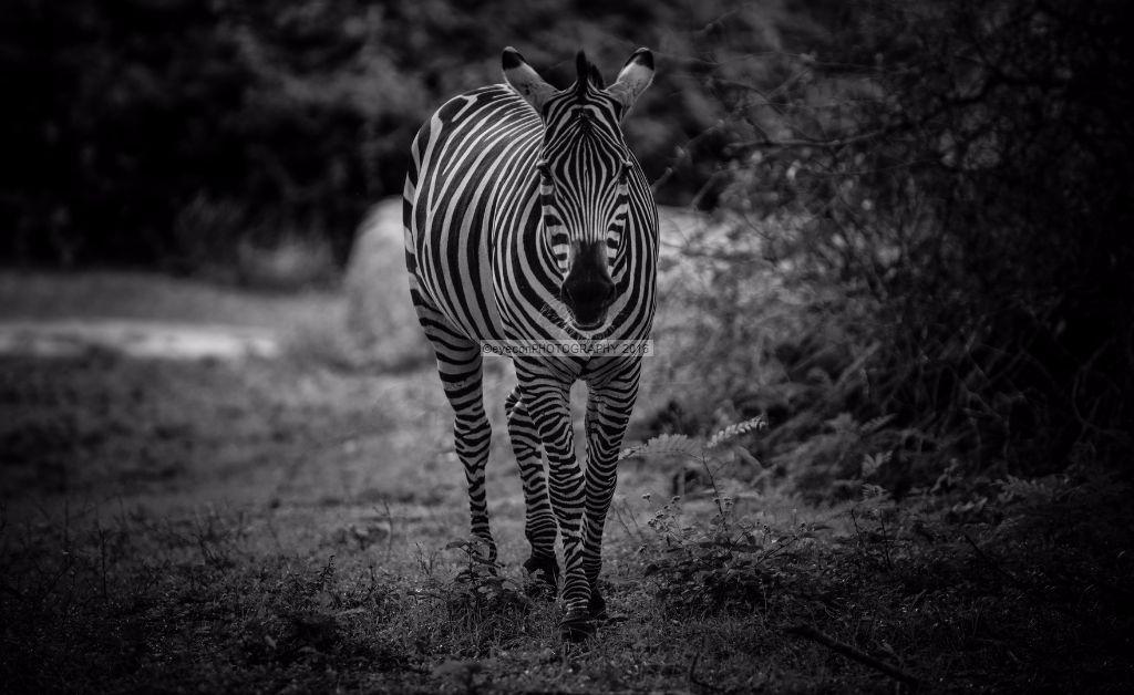 Lone Zebra