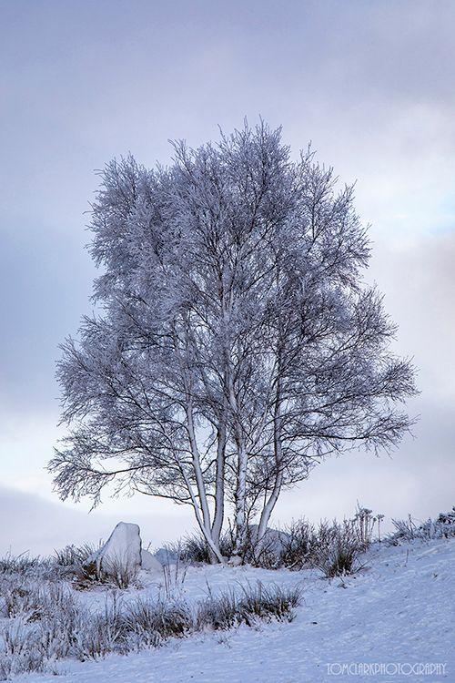 rannoch tree.
